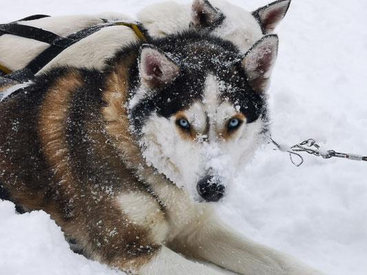 Siberian Husky Sniff
