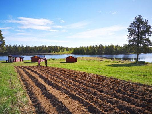 Huskyfarm Kartoffelfeld in Lappland