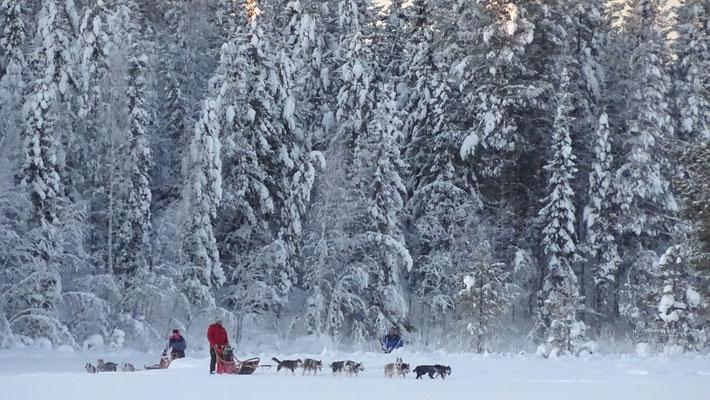 Mit dem Hundeschlitten durch Lappland
