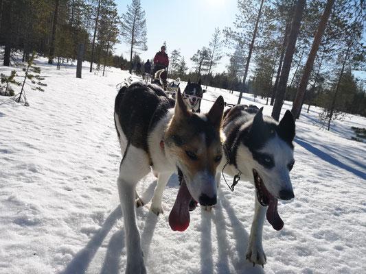 Schlittenhundetour im schwedischen Winter