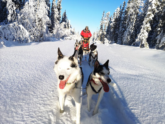 Schlittenhundetour in Schweden