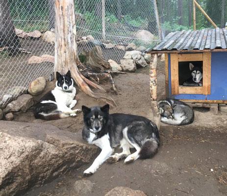 Schlittenhunde im Sommermodus