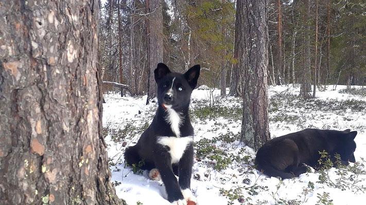 Die kleine Husky Hündin UCCA ist sehr neugierig