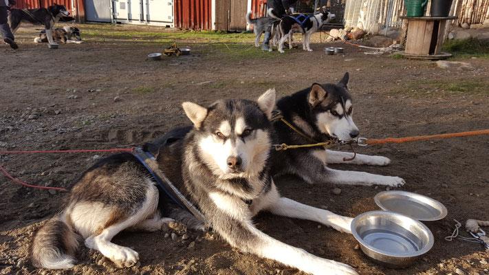 Entspannte Huskys nach getaner Arbeit