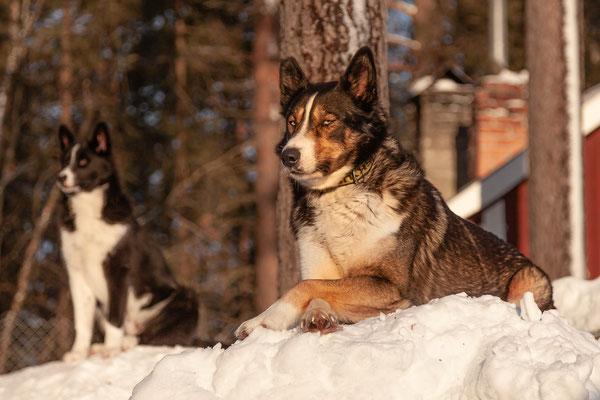 Übernehme eine Patenschaft für einen Schlittenhund