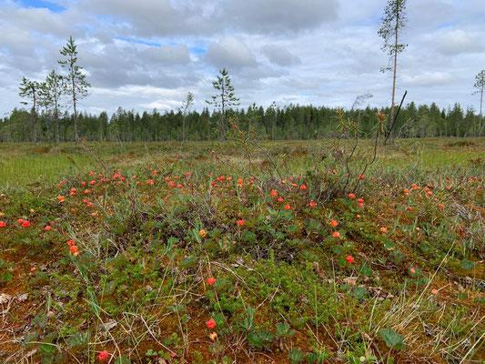 Hjorton & Huskyfarm in Schweden