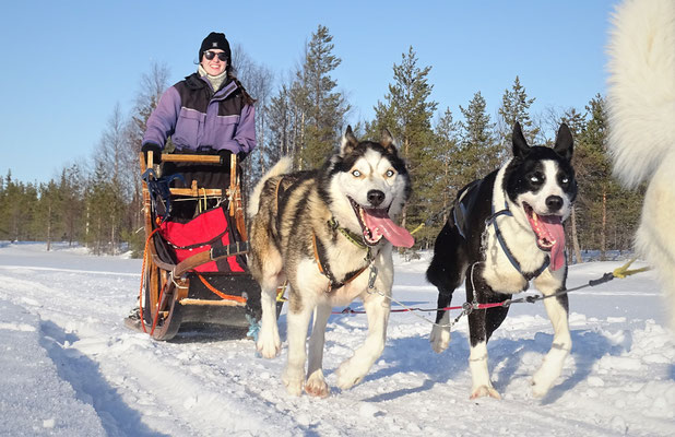 Etwas Glück auf dem Hundeschlitten in Lappland erleben
