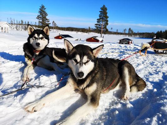 Siberian Husky Lani und SH Spray entspannen nach einer Huskytour