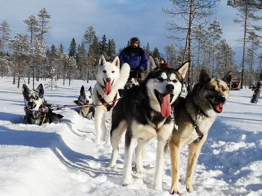 Huskytour im wunderschönen Lappland