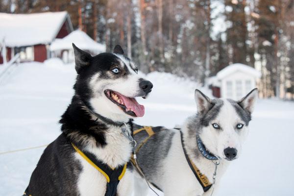 Patenschaft für Schlittenhunde