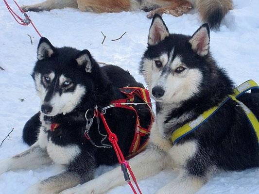 Siberian Huskys Blue  und Gajo