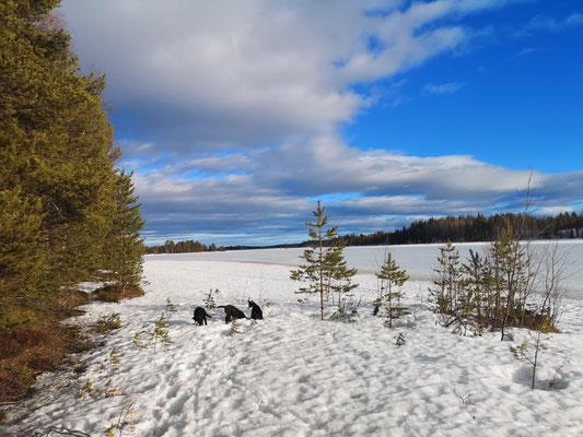 Siberian Husky Welpen erkunden die Insel