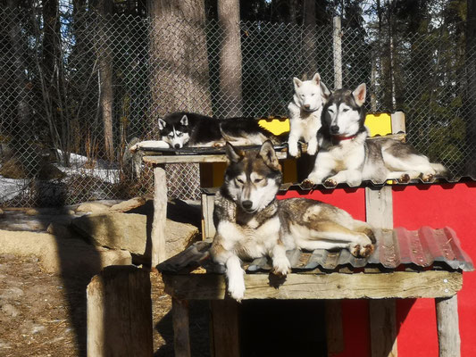 Zufriedenheit und Harmonie bei den Schlittenhunden