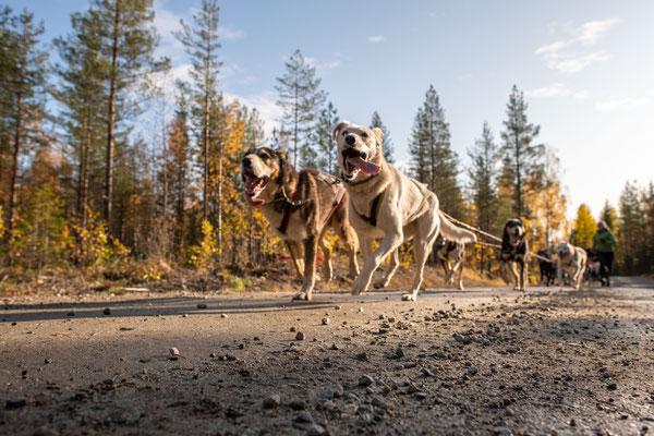 Schlittenhunde beim herbstlichen Training