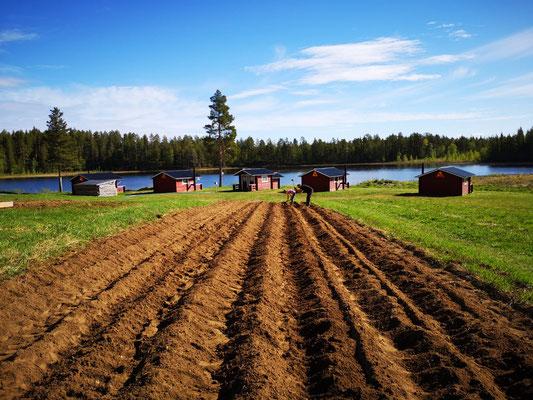Mandelkartoffel in Lappland setzen