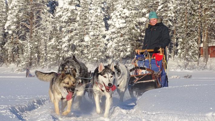 Hundeschlittentouren in Lappland mitmachen
