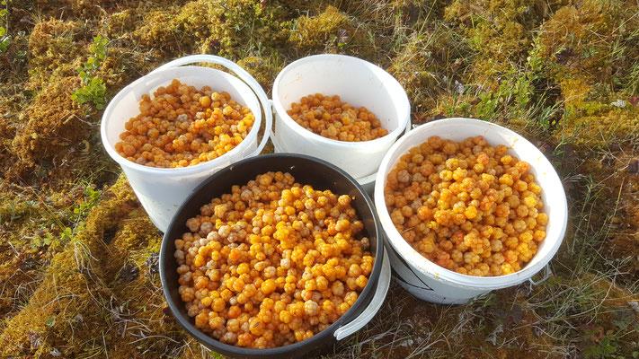 Die Moltebeeren sammeln wir in den Mooren Lapplands
