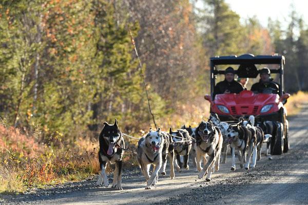 Schlittenhunde Aufbautraining vor dem Winter