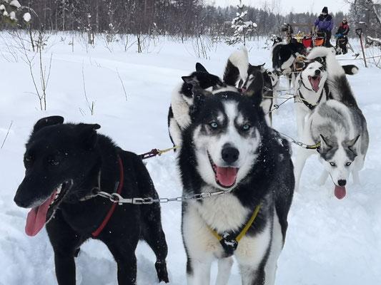 Huskytouren in schwedisch Lappland