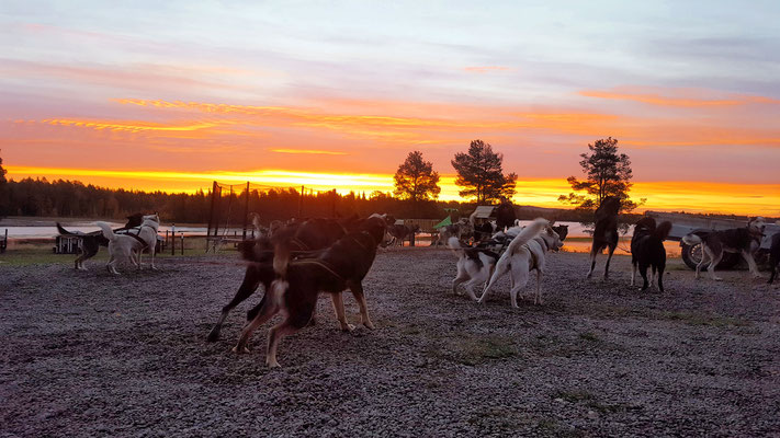 Die Huskys in Lappland wollen immer Laufen!