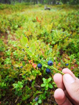 Blaubeeren pflücken im August