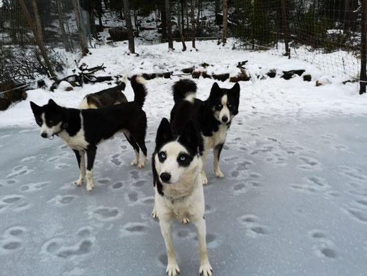 Huskys auf dem Eis in Schweden/Lappland