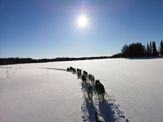 Huskytouren in Lappland