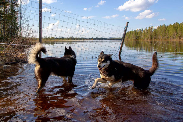 Huskys nach dem Winter im Chillmodus