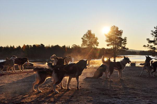 Herbsttraining mit Schlittenhunden