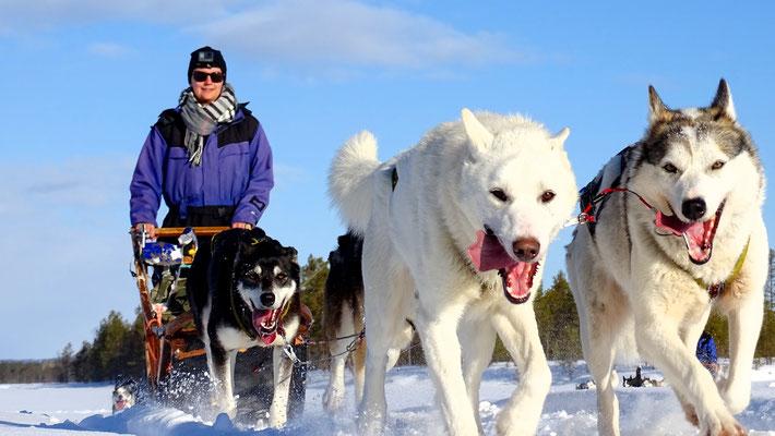 Mit Huskypower durch Lappland