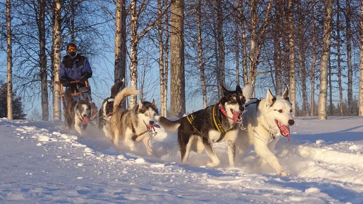 Auf den Kufen des Hundeschlittens in Lappland