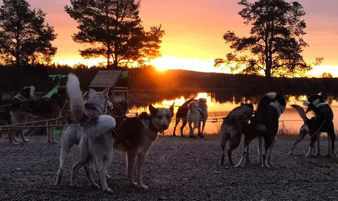 Huskyfarm in schwedisch Lappland