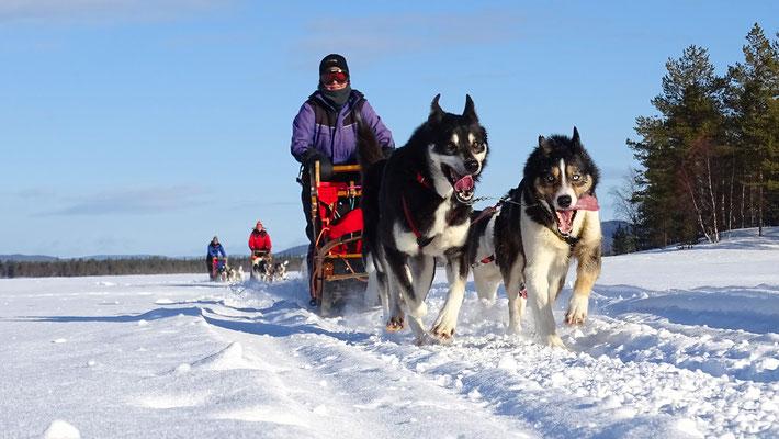 Auf Huskytour  in Lappland