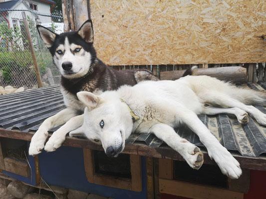 Die Schlittenhunde in ihrere Ruhepause
