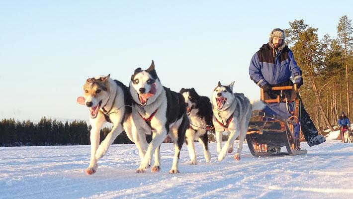 Hundeschlittentouren durch Lapplands Weiten