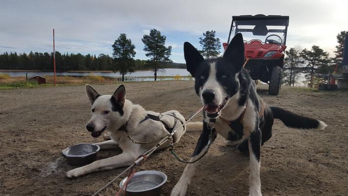 Huskys ziehen durch Lappland