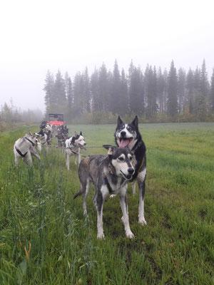 Herbsttraining der Huskys in Lappland