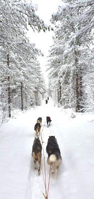 Huskytouren durch Lapplands Weiten