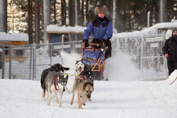 Urlaub mit Schlittenhunden auf einer Huskyfarm in Schweden