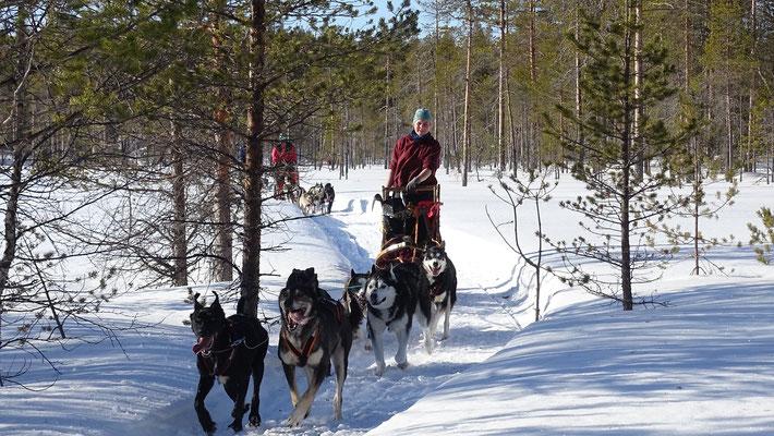 Mit Schlittenhunde n unterwegs durch Wälder und Moore