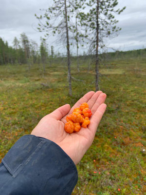 Moltebeeren -das Gold Lapplands