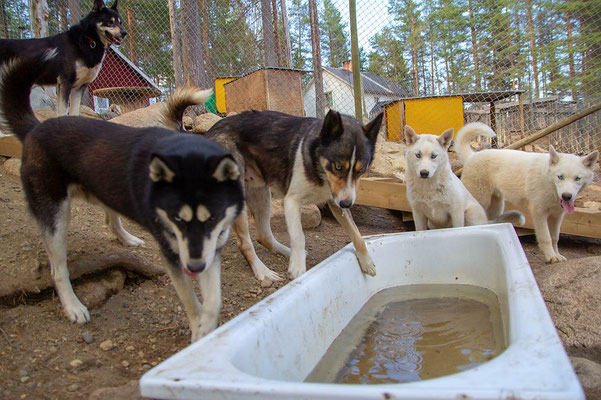 Schlittenhunde im Badespaß