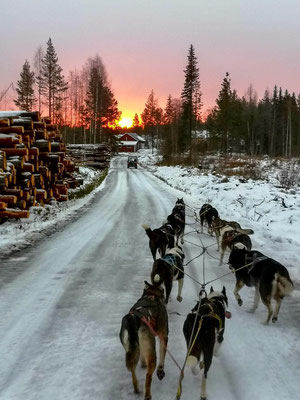 Huskys laufen in Lappland