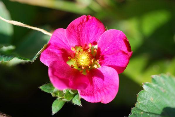 pinke Erdbeerblüte MichiLaden