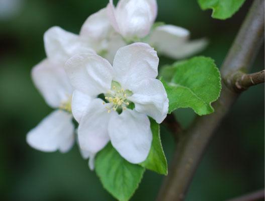 Apfelblüte MichiLaden