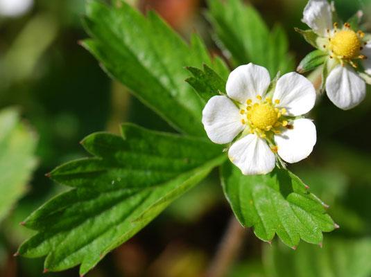 weiße Erdbeerblüte MichiLaden