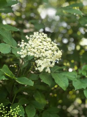 Holler oder Holunderblüten MichiLaden