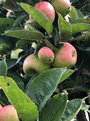 Äpfel im Schrebergarten in München MichiLaden