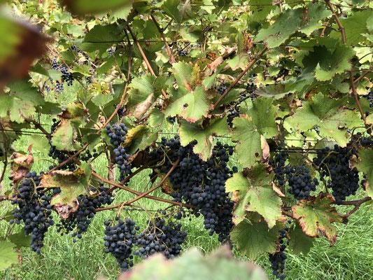 Weintrauben aus dem Schwarzwald MichiLaden