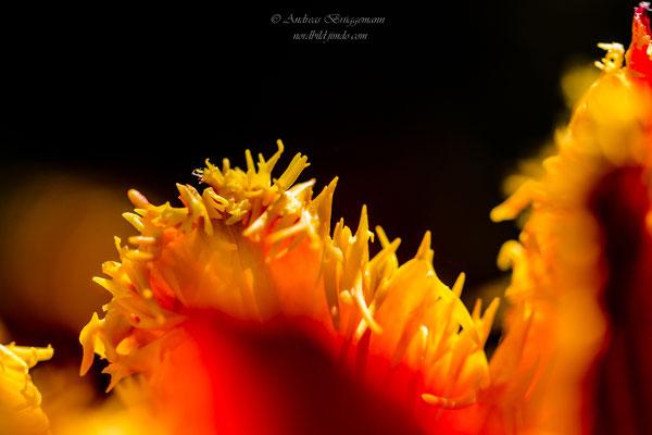 Tulip 18_5